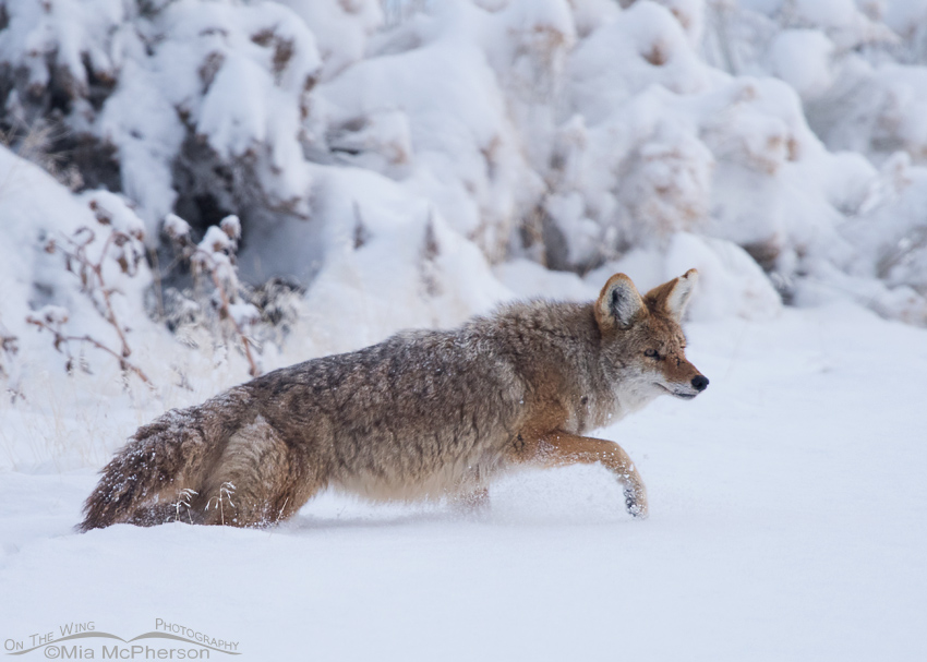 Coyote in a fresh snow
