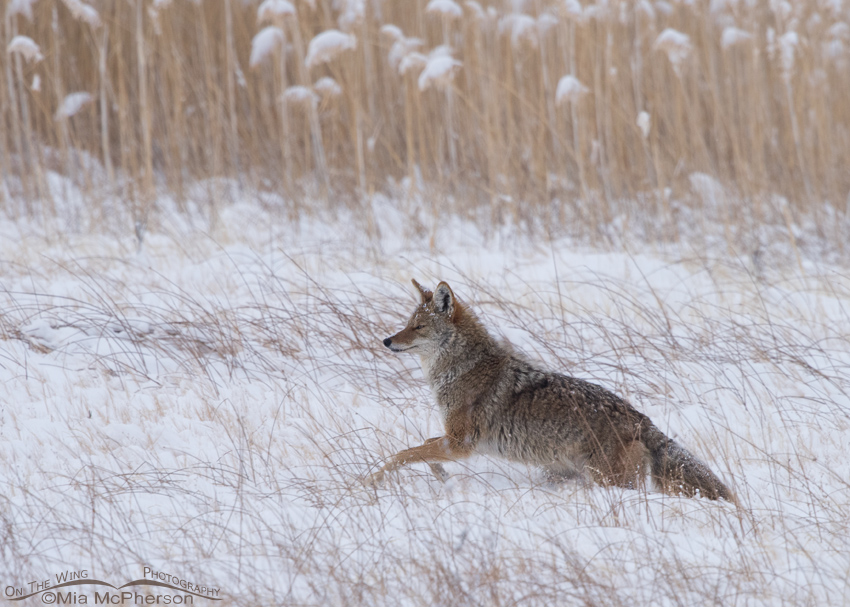 Coyote moving towards the mule deer carcass