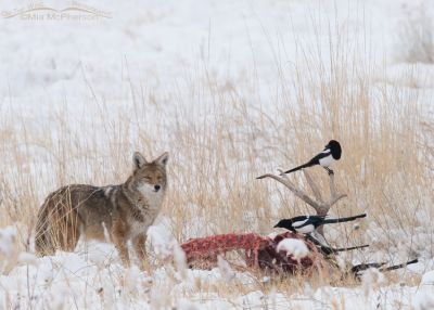 Magpies and a Coyote