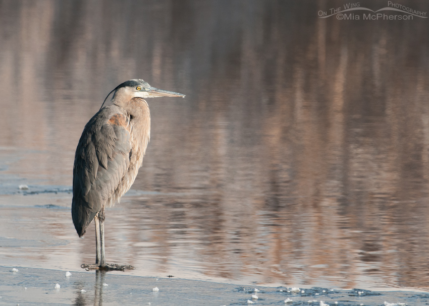 A Great Blue Heron on thin ice