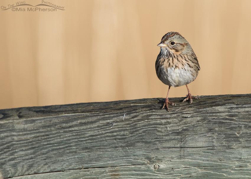 Lincoln's Sparrow on a fence rail