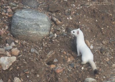 Long-tailed Weasel near a burrow of some kind