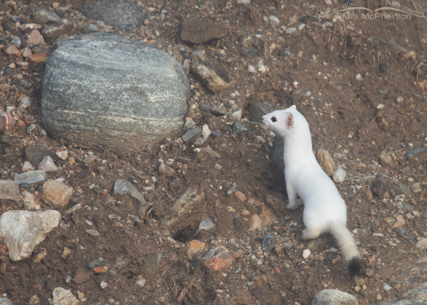 Long-tailed Weasel in winter molt near a burrow of some kind