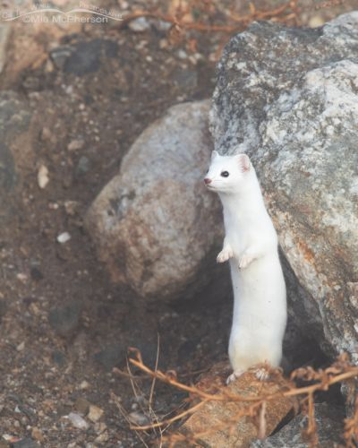 Long-tailed Weasel standing up