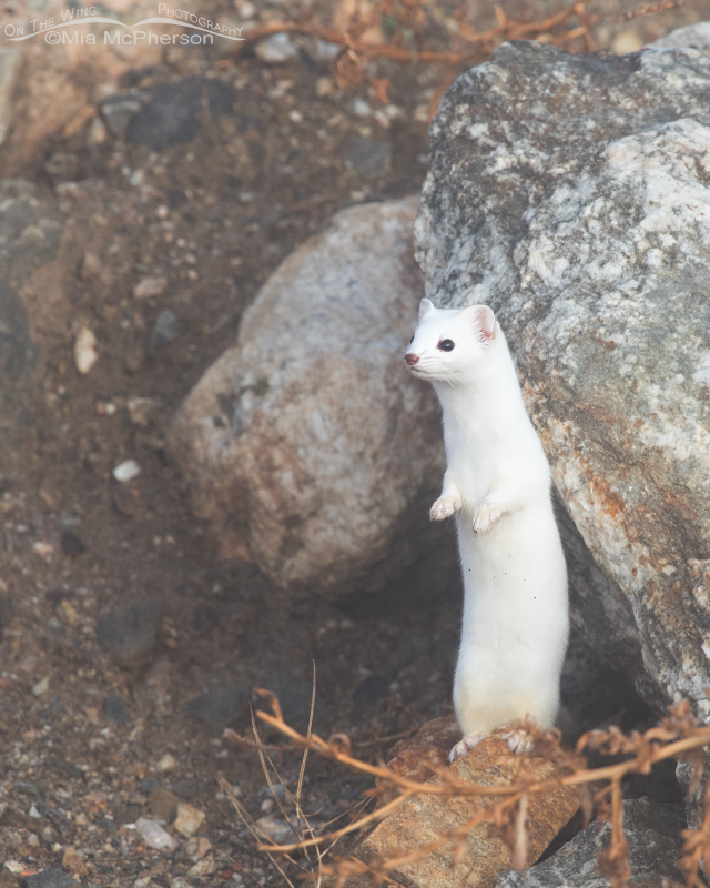 Long-tailed Weasel standing up showing its winter coat