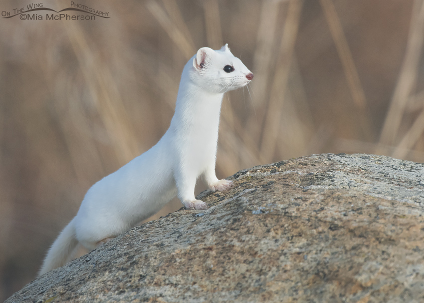 Long-tailed Weasel in its winter coat