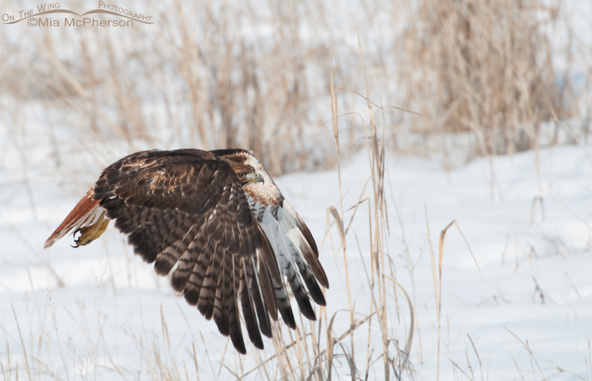 Red-tailed Hawk flying over the snow
