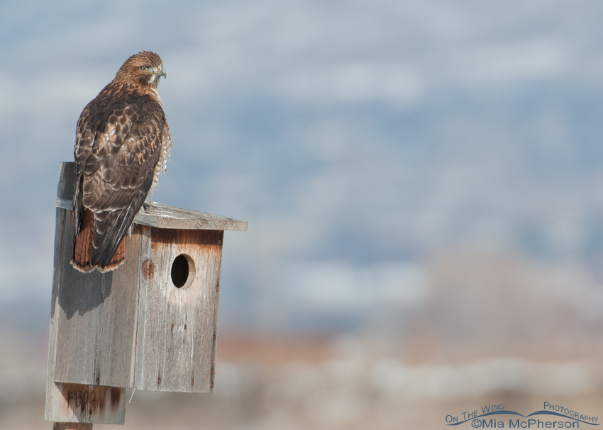 Red-tailed Hawk looking out over Farmington Bay