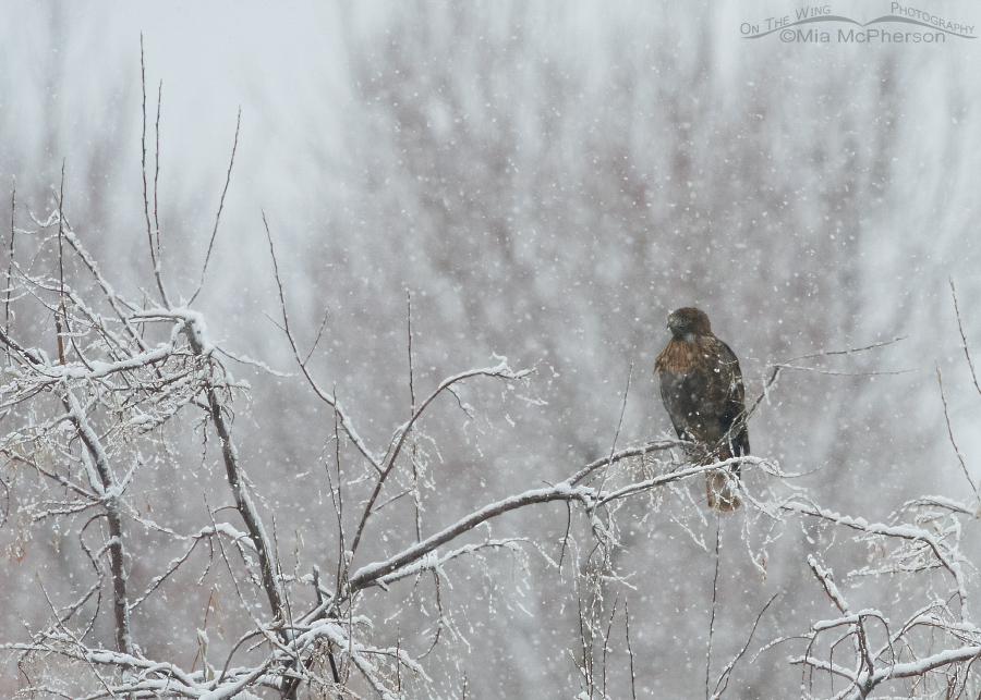 Perched Red-tailed Hawk in a snow storm