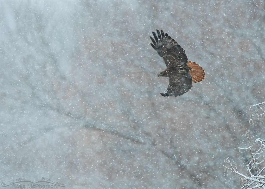 A Christmas Day snow storm and a Red-tailed Hawk