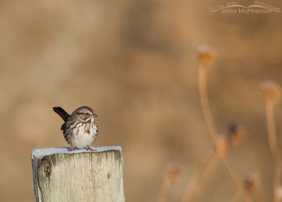 Song Sparrow on a fence post