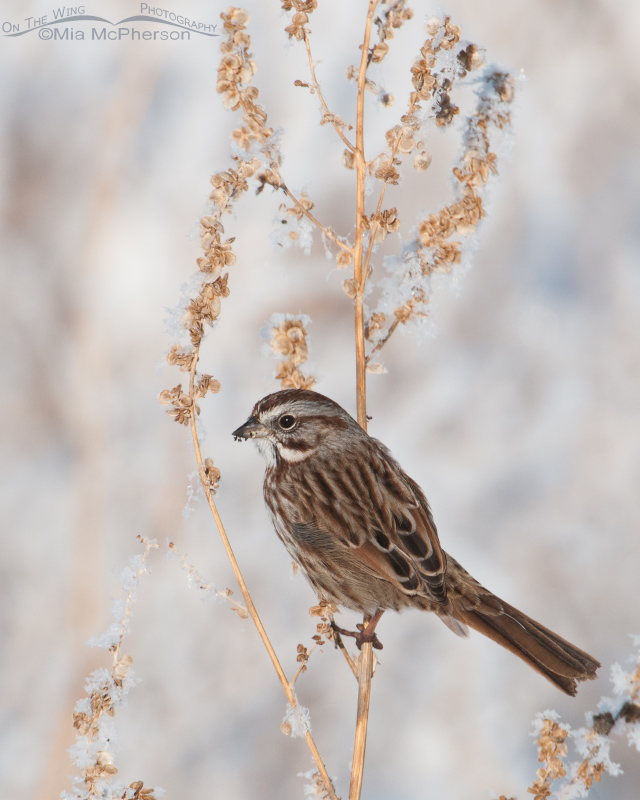 Song Sparrow and a frosty perch