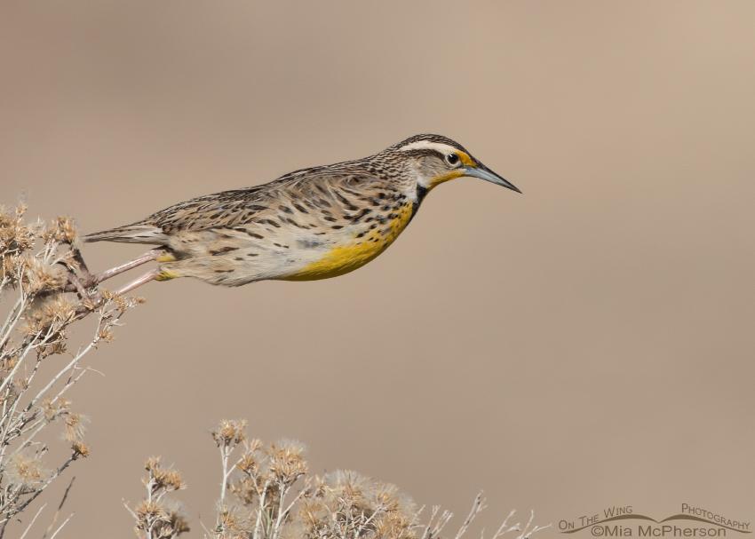 Western Meadowlark A-leaping