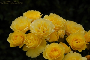 Yellow Rose and a dark background