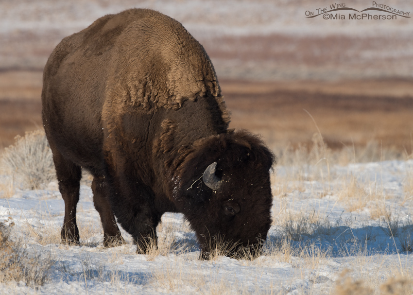Grazing American Bison on a January day