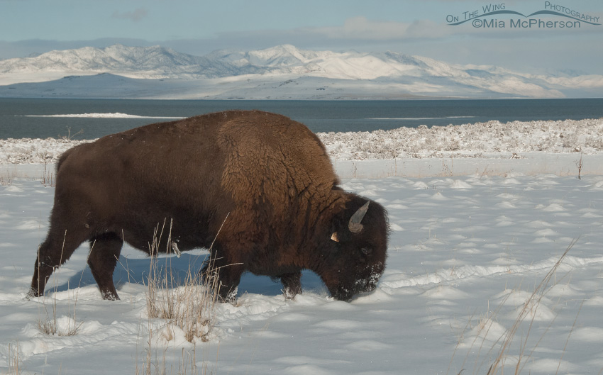 An American Bison grazing through the snow