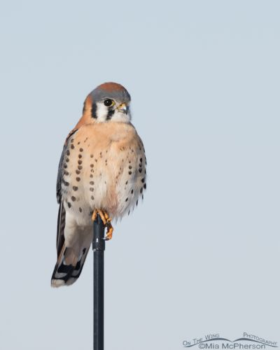 Male American Kestrel perched on an antennae