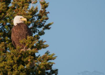 Bald Eagle on a lofty perch