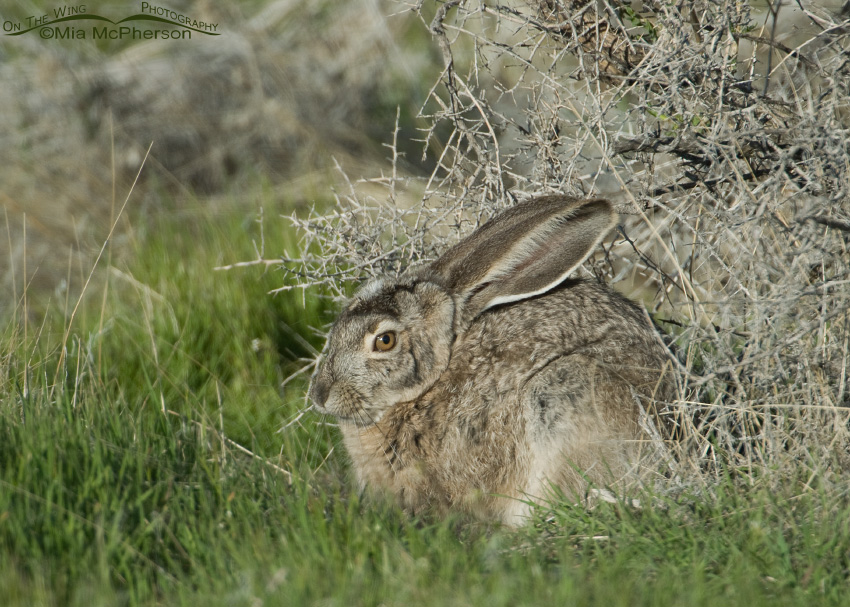 Resting Black-tailed Jackrabbit
