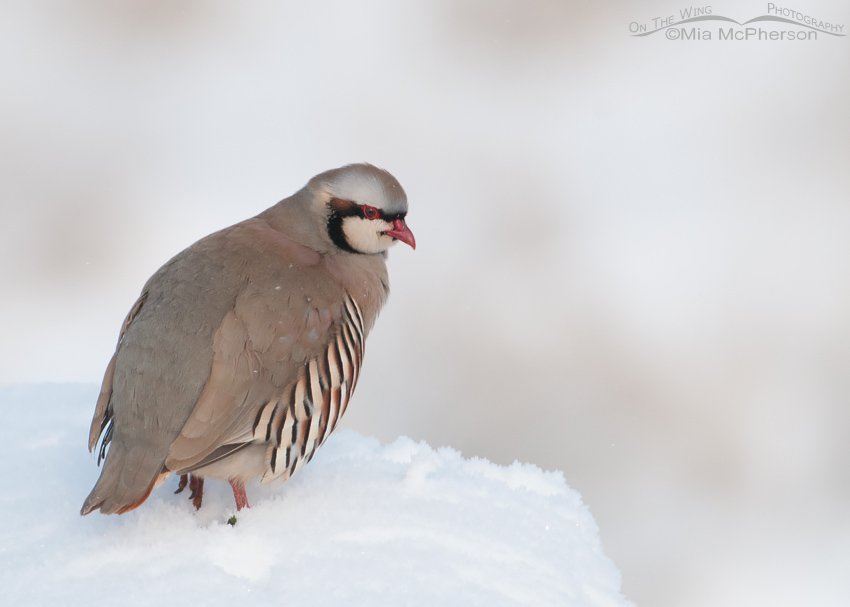 Chukar in falling snow
