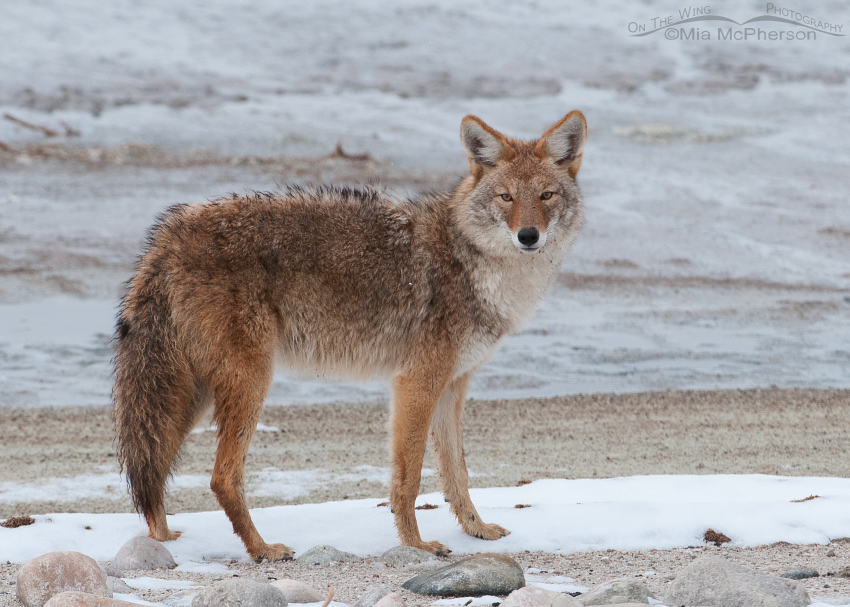Lone Coyote on the shore of the Great Salt Lake