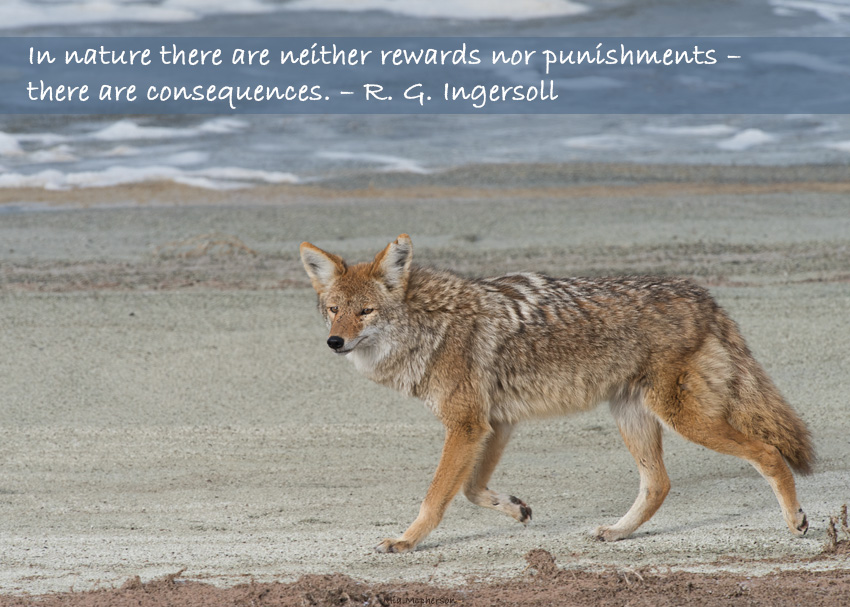 Coyotes and Consequences