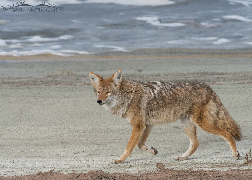 Coyote taking a winter stroll near the Great Salt Lake