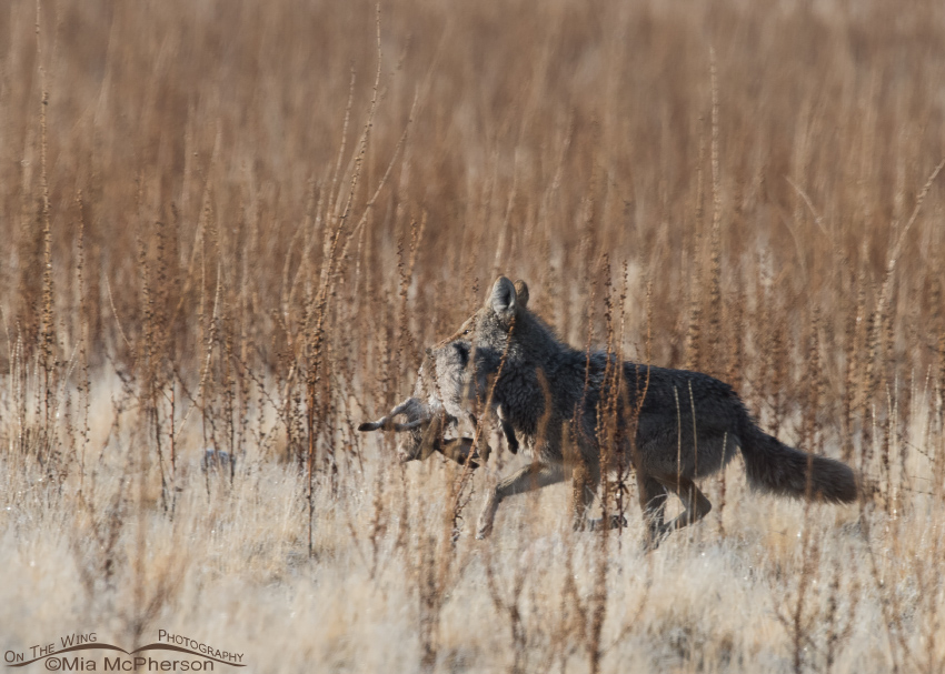 A Coyote with a Jackrabbit stolen from a Golden Eagle