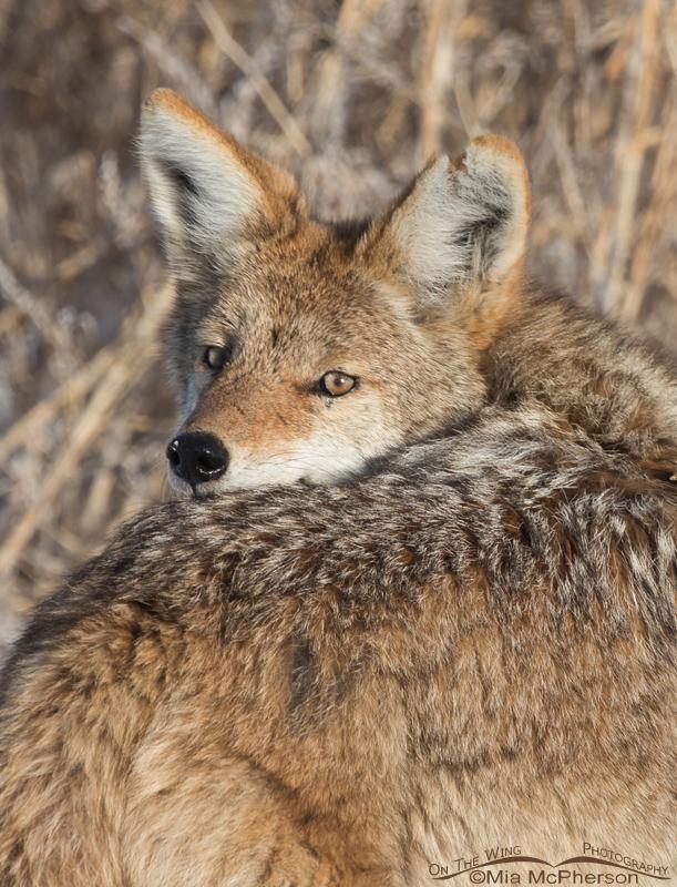 Coyote looking over its shoulder