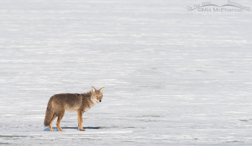 Coyote on the snow-covered mudflats