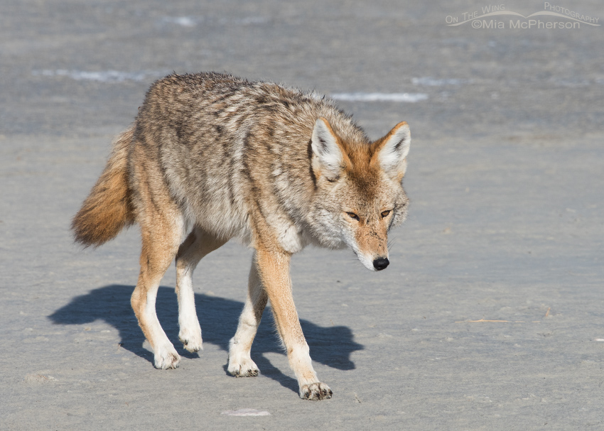 Coyote on the mudflats