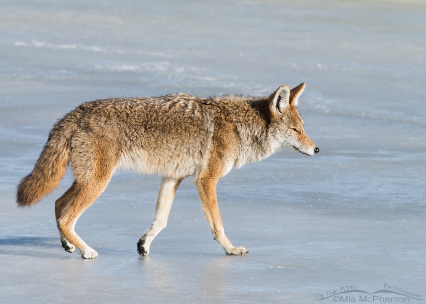Coyote on ice