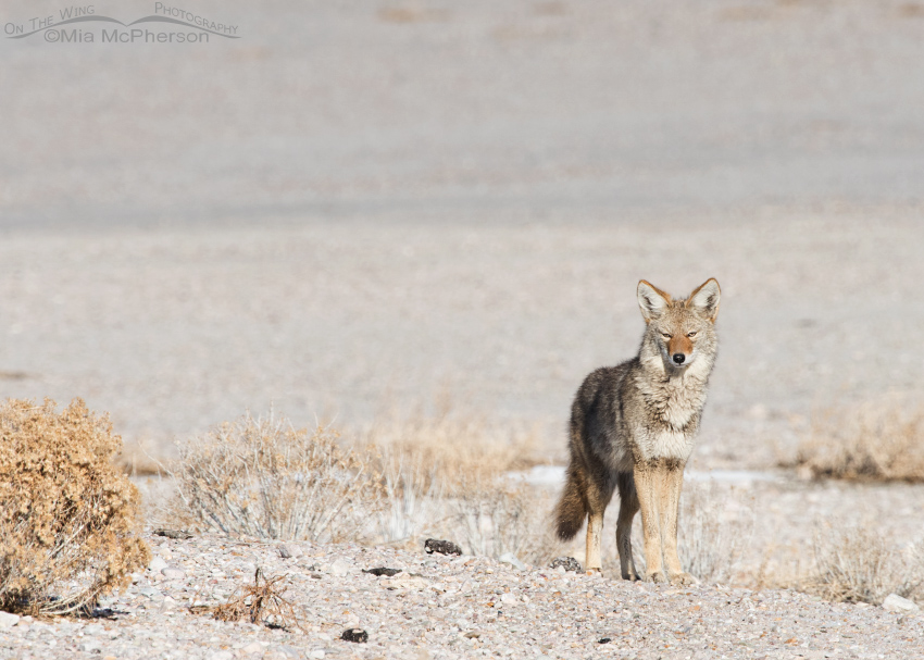 The intruding Coyote