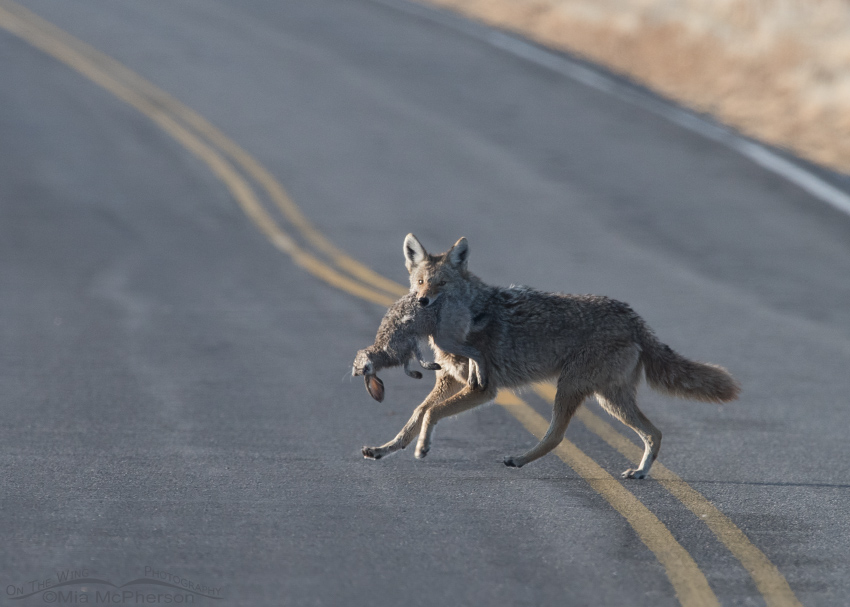 Coyote crossing the road with the Golden Eagle's prey