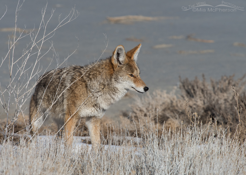 Coyote keeping an eye on its mate