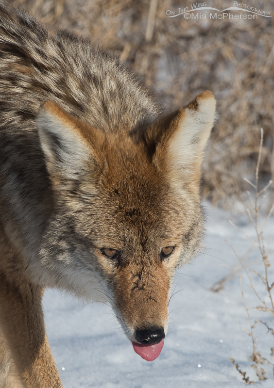 Coyote after finishing off the vole