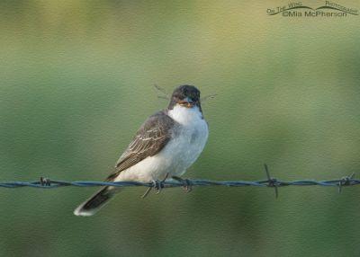 Eastern Kingbird Photo Art