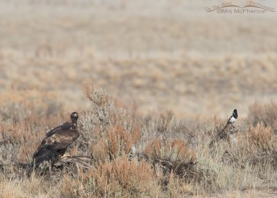 Golden Eagle and a Black-billed Magpie