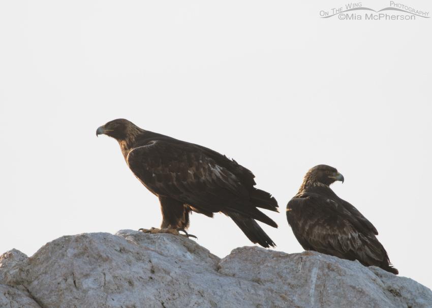 A back lit Golden Eagle pair