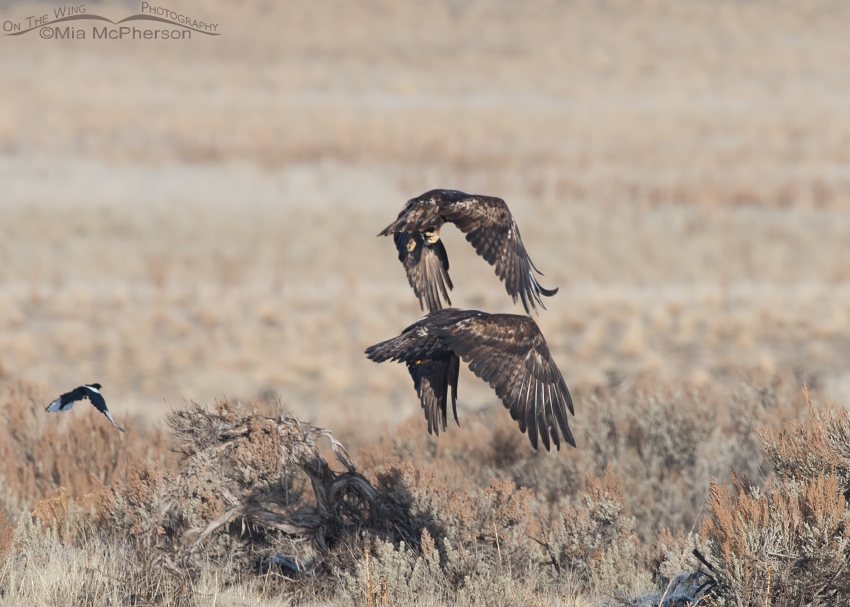 Golden Eagle pair after being chased by Coyotes