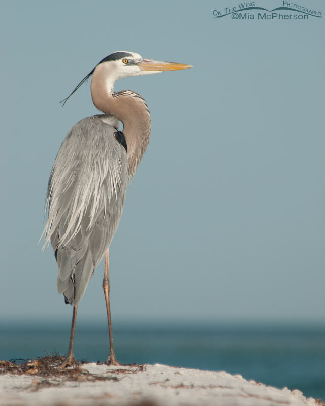 Great Blue Heron and the Gulf of Mexico