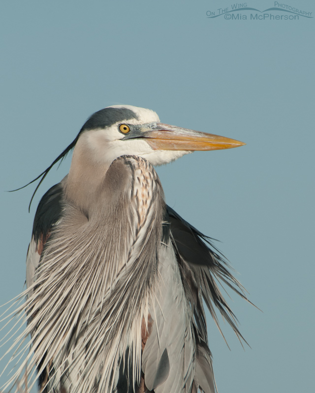 Great Blue Heron portrait on a breezy day