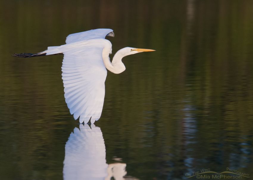 Great Egret Images