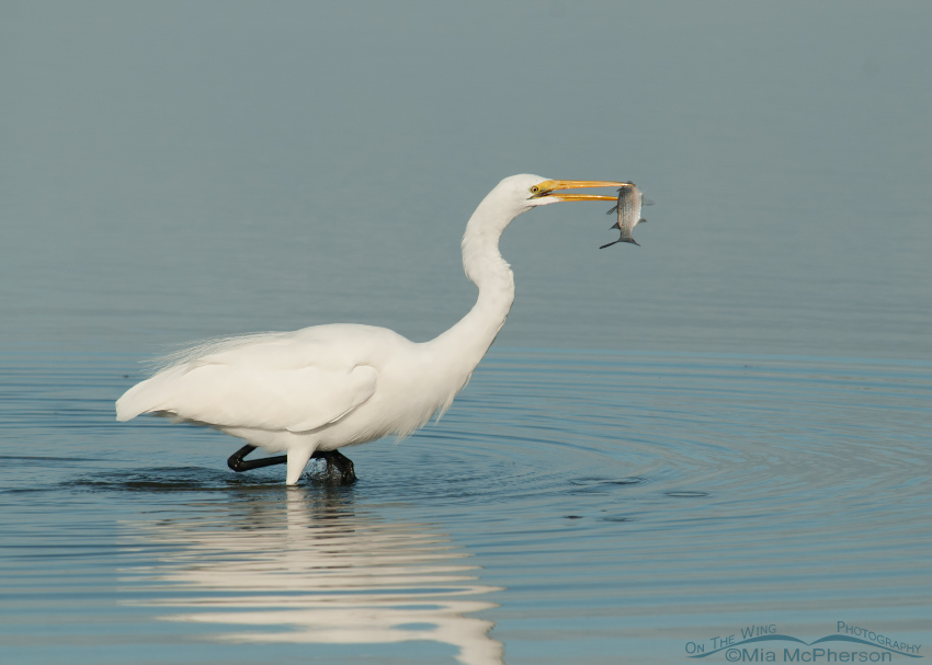 Great Egret with a Mullet