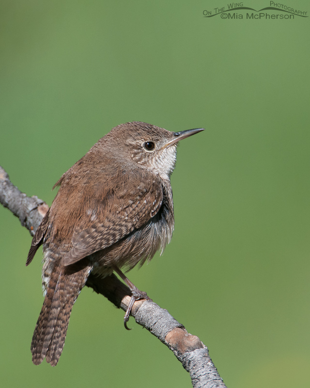 House Wren portrait
