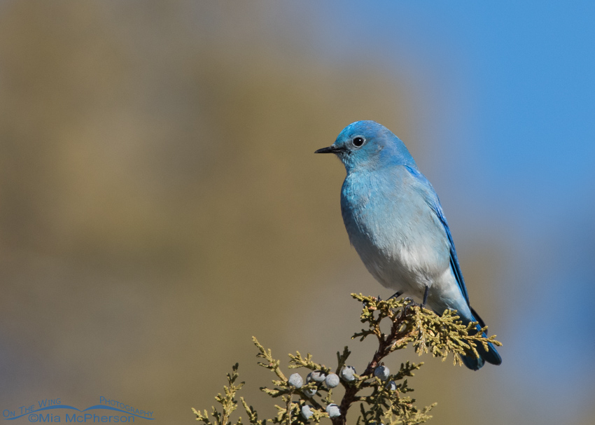 Mercur Canyon Mountain Bluebird