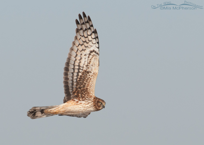 Northern Harrier on the wing