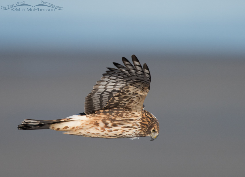 Northern Harrier looking for voles