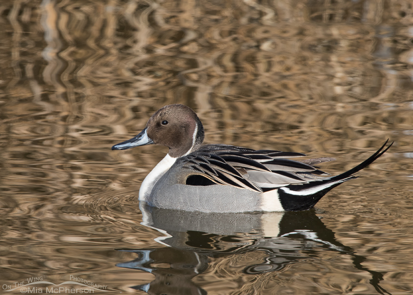 Drake Northern Pintail on a January morning