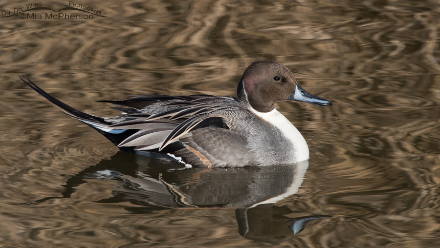 Northern Pintail drake at Farmington Bay